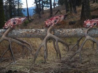 Successful Idaho Mule Deer Hunt -Frank Church Wilderness